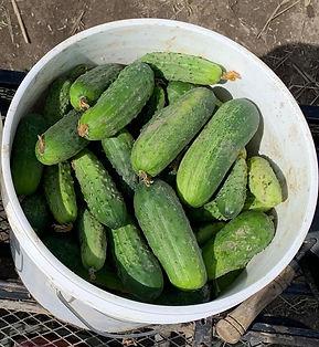 pickling cucumbers 2021 - Copy_edited.jpg