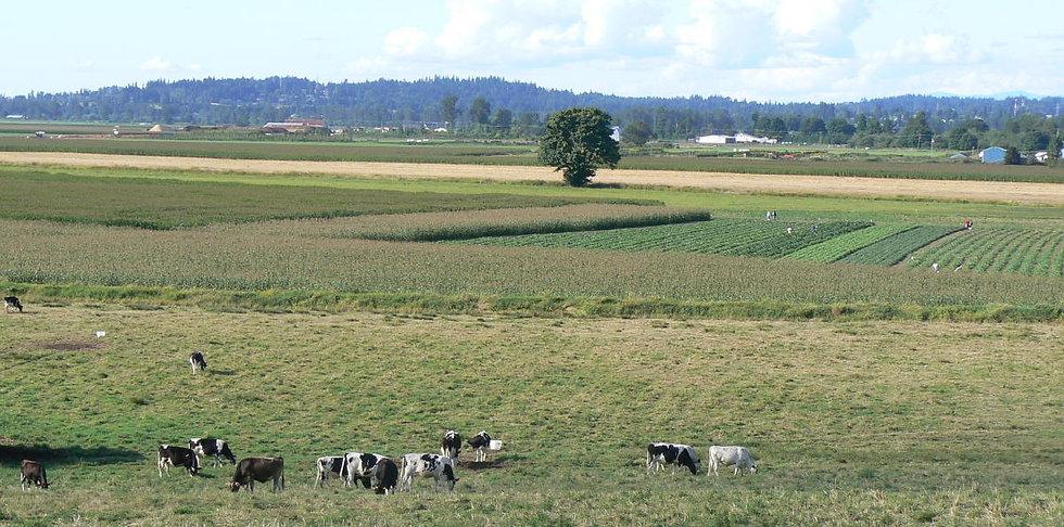 cows_corn1200 (2).jpg