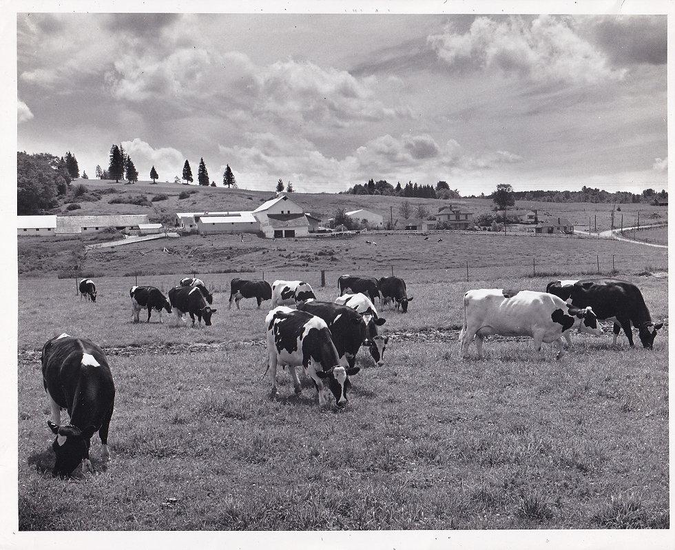 cows (2) resize.jpg