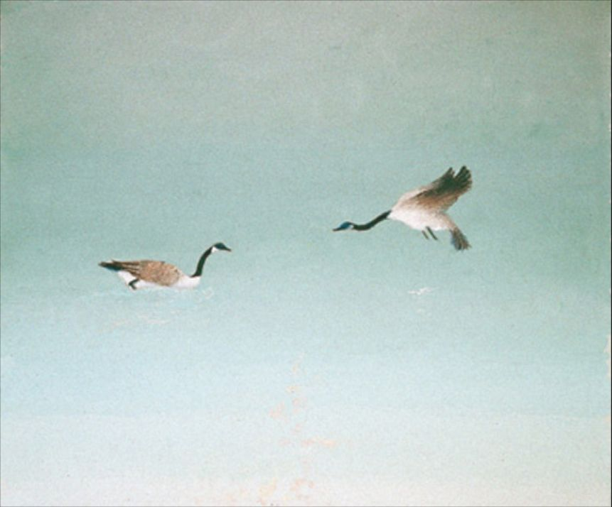 The Buckingham geese