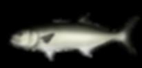 Azores Bluefish
