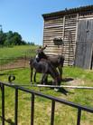 Les ânes