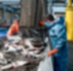 Unloading Fish_  Fresh caught halibut dr