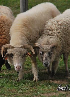 owce.JPG