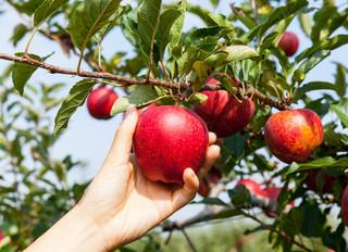 Cueillette de pommes le 12 septembre