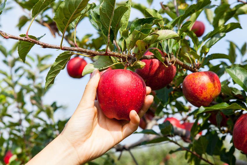Pensez à vous inscrire pour cette cueillette. A suivre la confection d'une sublime tarte aux pommes pour le goûter.