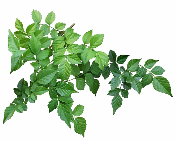 Green-Leaves-PNG-Clipart.png
