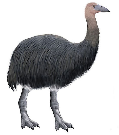 An elephant bird reconstruction