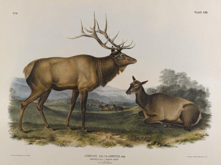 Brooklyn_Museum_-_American_Elk_-_John_J.