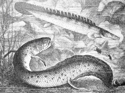 A 19th century illustration of two lungfish