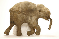 "the 40,000 year old remains of ""Lyuba"", a two month old mammoth"