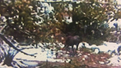 A still of Ken Tustin's 1995 trail camera. Note the curved back distinctive of moose.