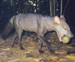 A short-eared dog with a fruit in its mouth