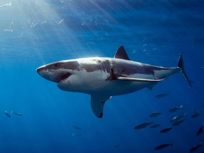 A normal-sized great white shark