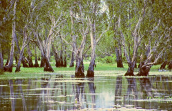 A mangrove swamp on the Mary River