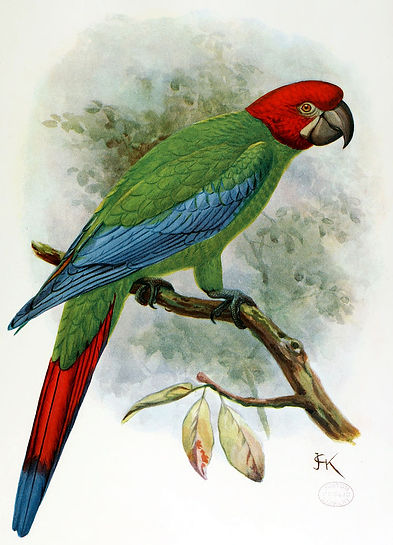 Red-headed macaw illustration by J.G. Kuelemans