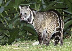 A civet, which the bokyboky is said to look similar too.