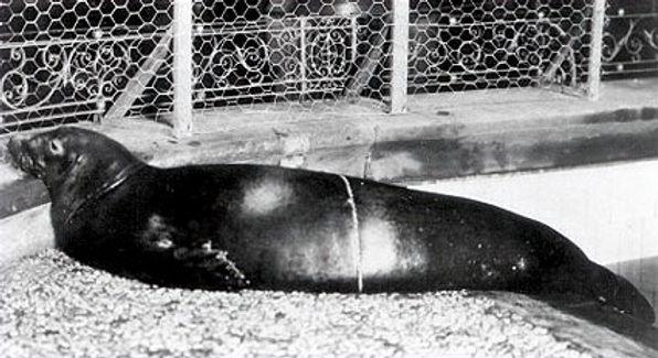 A Caribbean monk seal at the New York Aquarium (c. 1910)