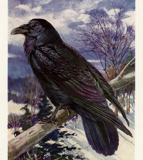Northern-Raven-OldDesignShop.png