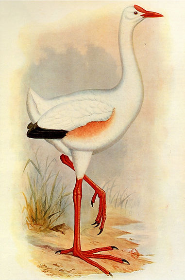 "Frederick W Frohawk's illustration of leguatia in ""Extinct Birds"" (1907)"