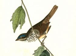 Audubon's original painting