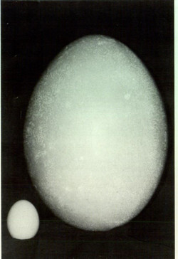 The Scott River egg compared to a hen's