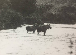 Two Fjordland moose photographed before