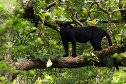 A wild black panther photographed in Nagarhole National Park, India