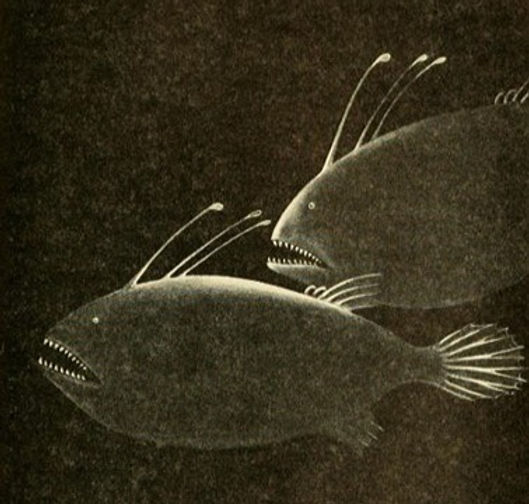 An illustration of three-starred anglerfishes by Else Bostelmann