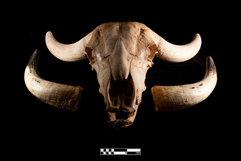 A water buffalo skull