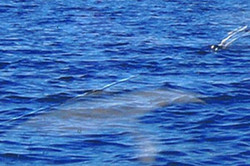 Photo taken in Sept 6th 2006 by a boater south of Kelowna Mission. Witness guessed it was 20 ft