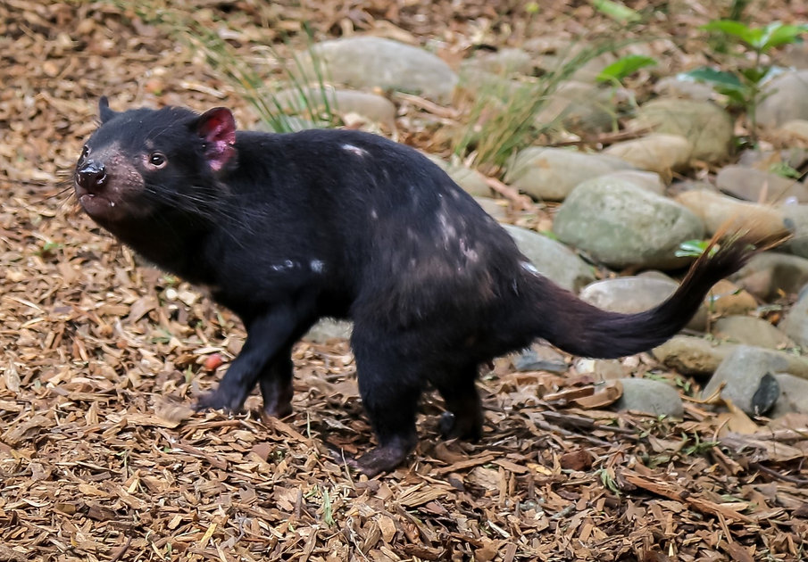 A captive Tasmanian devil I saw at Symbi