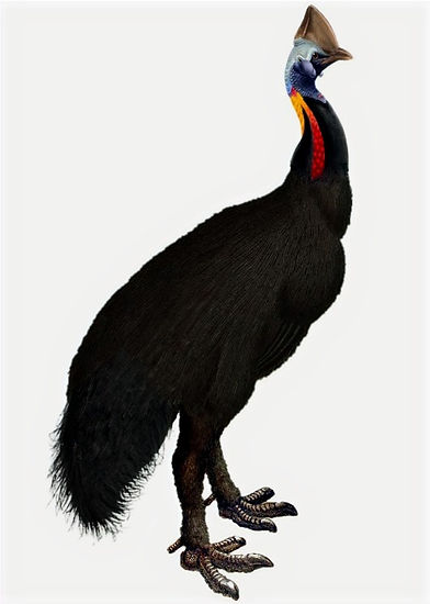 Sclater's cassowary (composite by Thomas