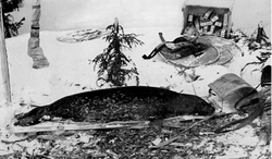 The first photo of an Ungava seal