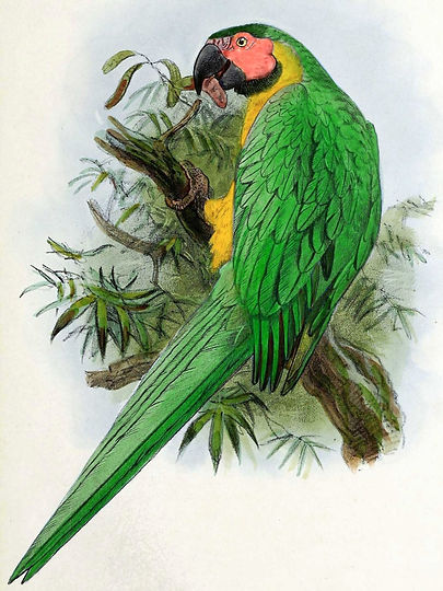 Dominican green-and-yellow macaw illustration by J.G Kuelemans