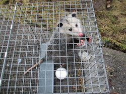 A opossum captured in Lakefield, Ontario