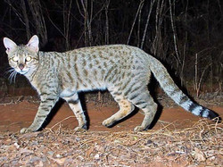 One of the photos of an African wildcat taken in Madagascar