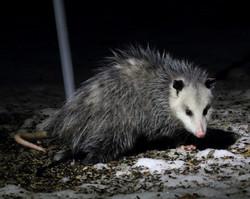 A opossum between Peterborough and Douro