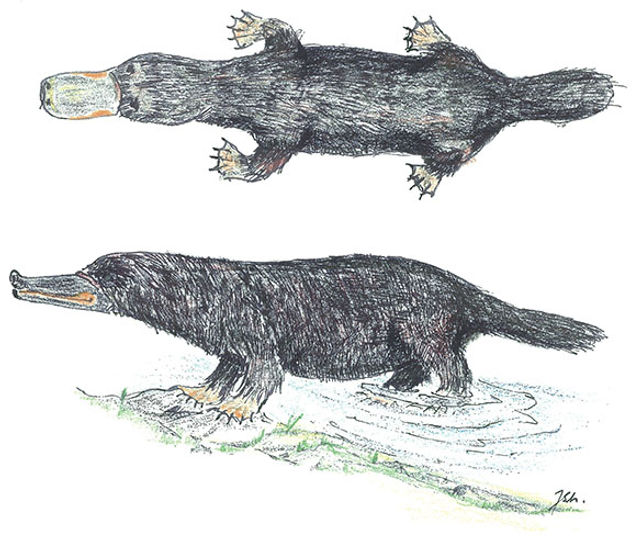 Sketch artist Jarmo Sinisalo's rendition of a Canadian platypus based on multiple reports around Man