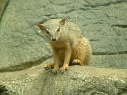 """The narrow-striped mongoose, which is confusingly also called """"bokyboky"""""""