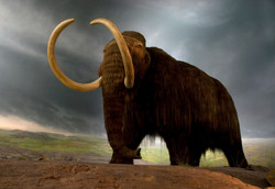 A woolly mammoth replica at the BC Museum