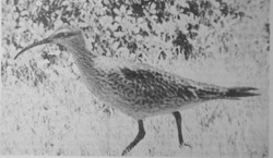 One of the few photos of a living northern curlew, taken on Galveston Island, Texas in 1962
