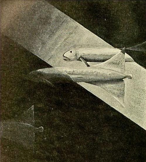 An illustration of pallid sailfins by Else Bostelmann
