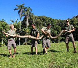 A particularly large amethystine python (16 ft)