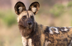 The mottled fur of the yokyn is said to resemble an African wild dog's