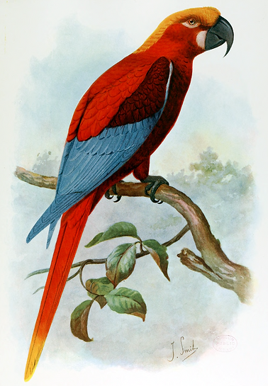 1907 illustration of a Jamaican red macaw by Joseph Smit