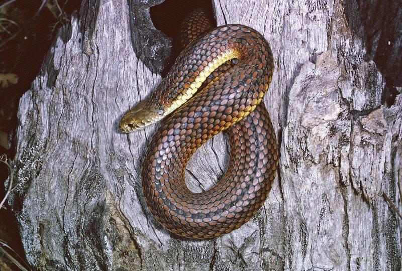 An Australian copperhead
