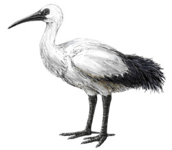 a modern reconstruction of a Réunion Ibis based on skeletal remains