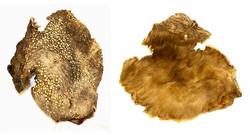 A ground sloth hide found in the Cueva Ultima Esperanza Cave