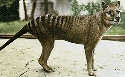 A colourized photo of Benjamin, the last confirmed thylacine